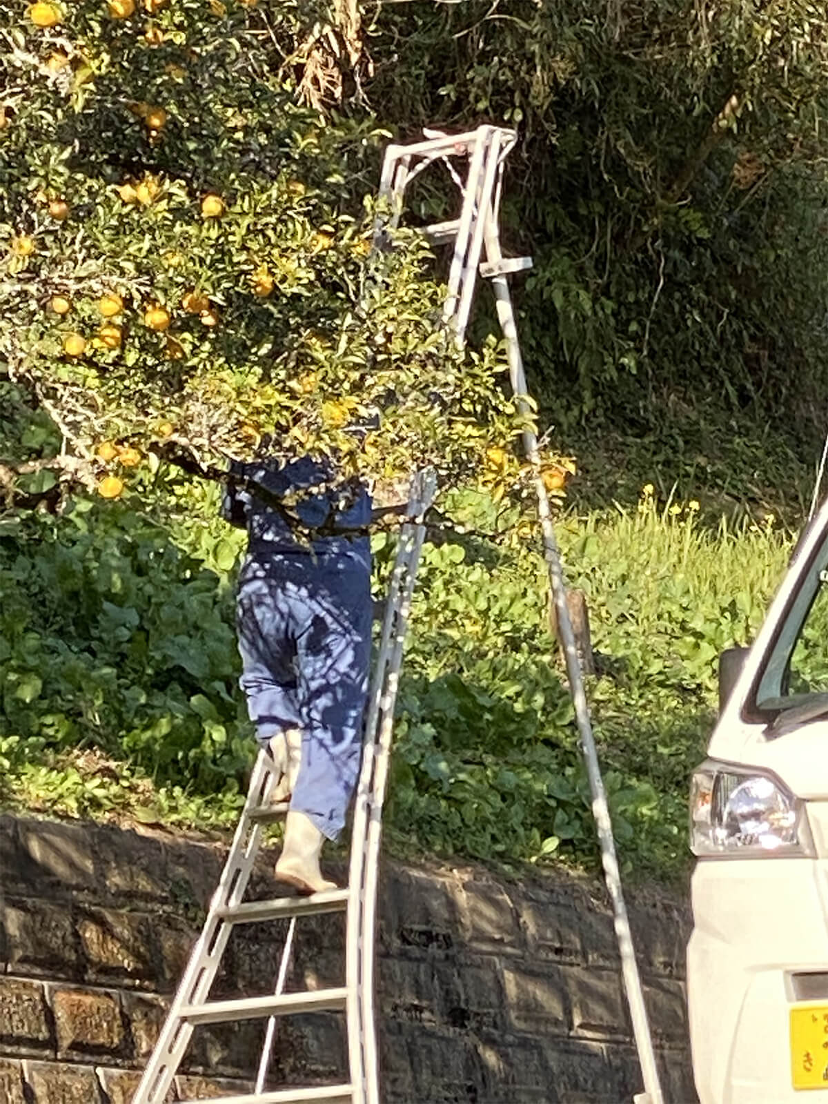 柚子を収穫する社長