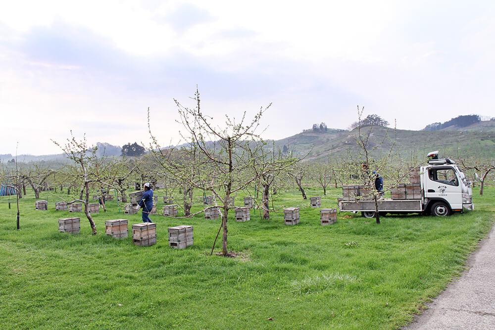 りんごの開花