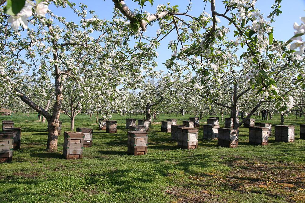 青森のりんごの花畑