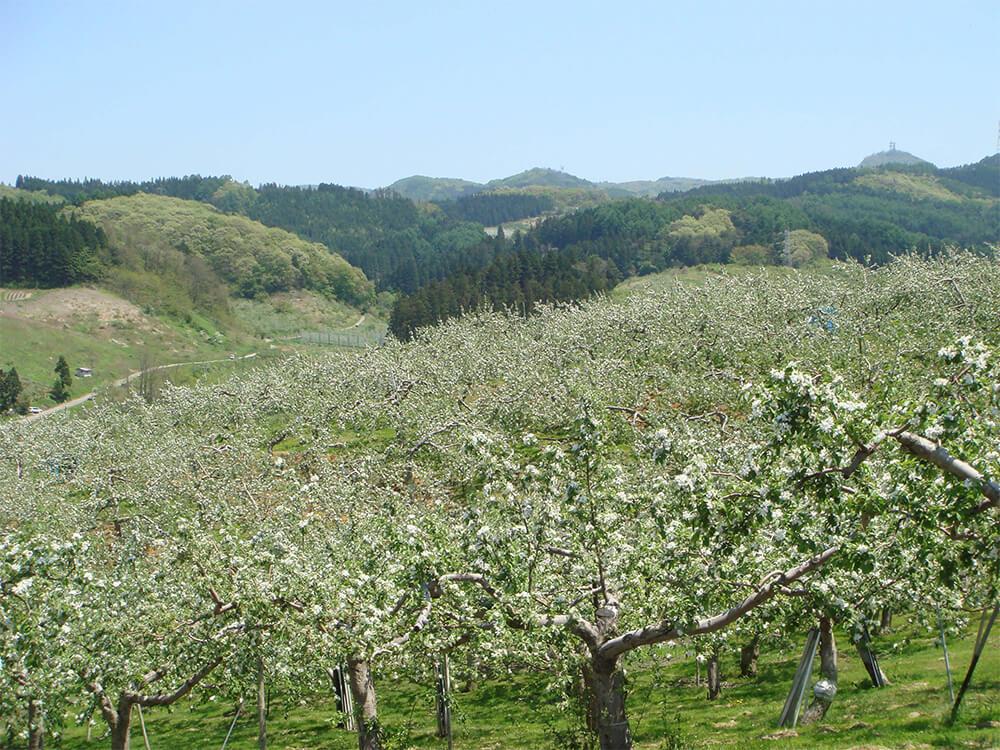美しいりんごの花