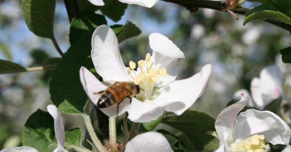 青森のりんごの花畑も満開です