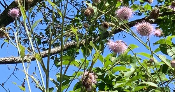 北海道産あざみの花の採蜜